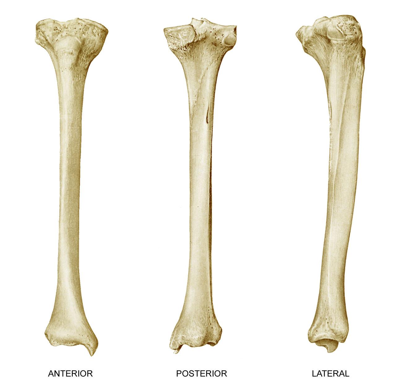 Anatomyexpert Soleal Line Structure Detail