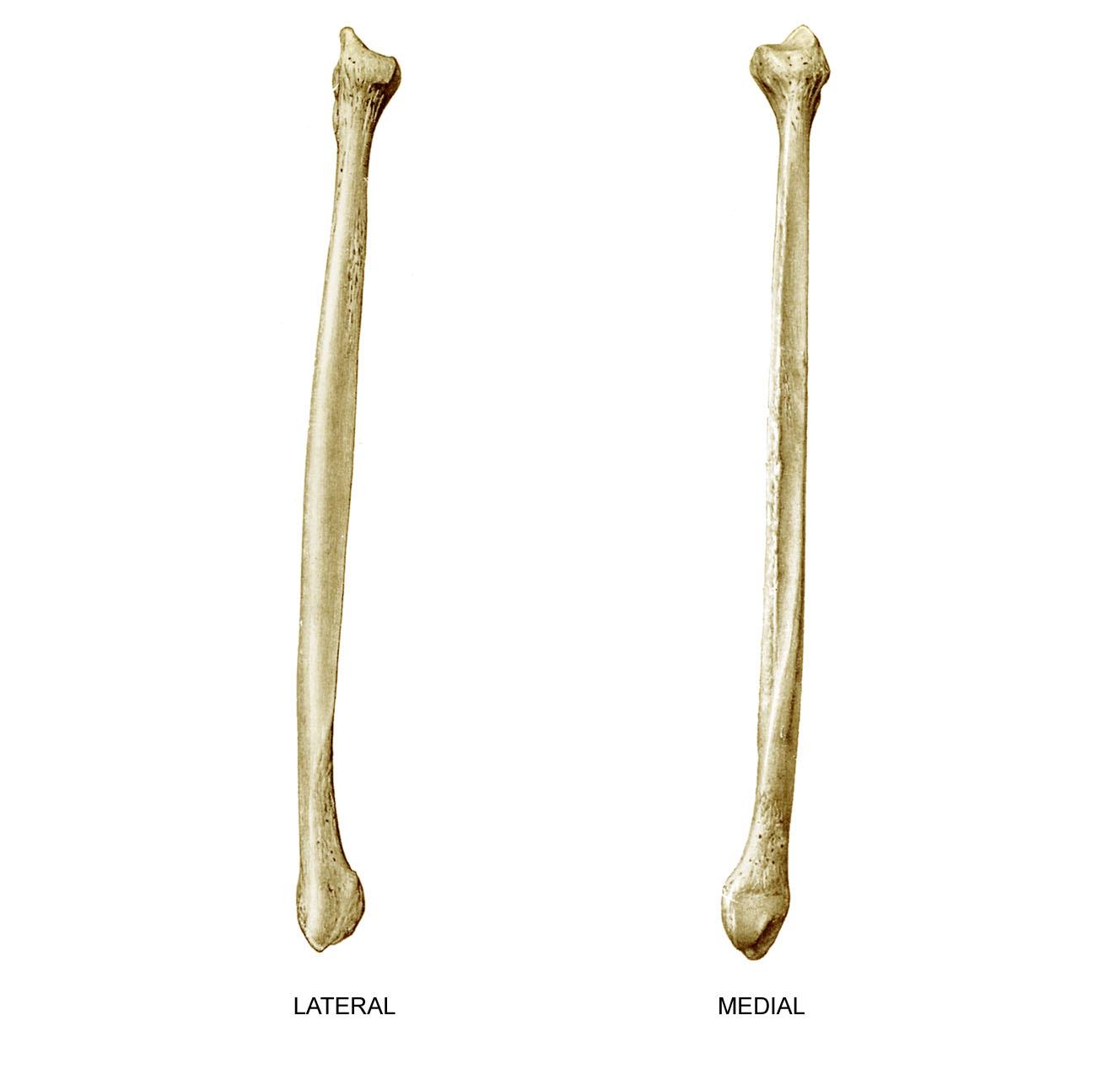 Anatomyexpert Apex Of Head Of The Fibula Structure Detail