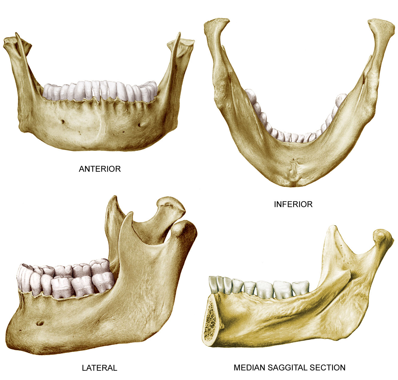 anatomyEXPERT - Angle of the mandible - Structure Detail